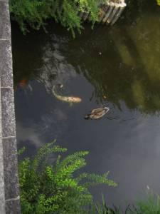 zahme Kois (heilige Fische)